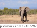 african, elephant, loxodonta 19407292
