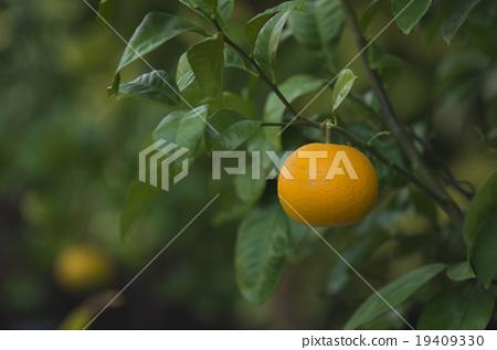 Stock Photo: mandarin orange, citrus fruits, fruits