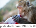 Monkey drinking red water. 19436630