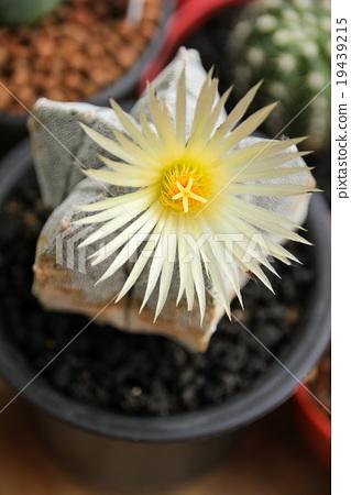 Flower of Star Cactus (Astrophytum Myriostigma) 19439215
