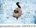 แมว,วิเชียรมาศ,หิมะ 19449128