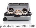 Three siberian husky puppies sitting in suitcase 19452881