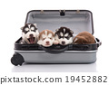Four siberian husky puppies sitting in suitcase 19452882