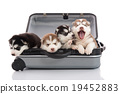 Four siberian husky puppies sitting in suitcase 19452883