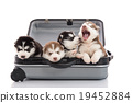 Four siberian husky puppies sitting in suitcase 19452884
