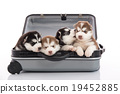 Four siberian husky puppies sitting in suitcase 19452885