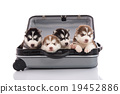 Four siberian husky puppies sitting in suitcase 19452886
