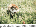 Cute siberian husky puppy looking on green grass 19452888