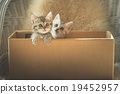 Cute tabby kittens  in a box 19452957