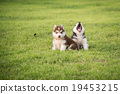 Two Cute siberian husky puppy sitting and looking 19453215