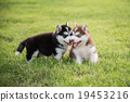 Two Cute siberian husky puppy standing and looking 19453216