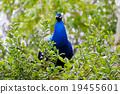 male peacock on tree 19455601