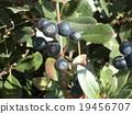 겨울이오고 익은 샤린바이의 열매 19456707