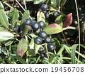 겨울이오고 익은 샤린바이의 열매 19456708