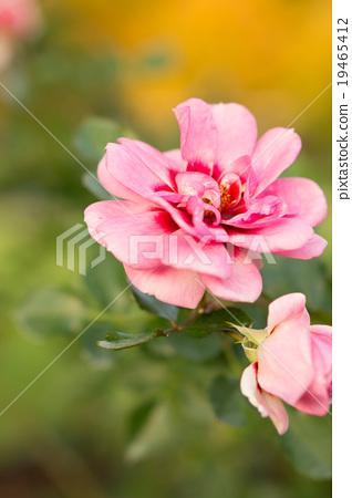 玫瑰公主·巴比倫 19465412
