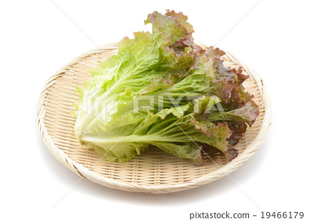 sunny lettuce 19466179