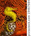 A Yellow Seahorse 19467684
