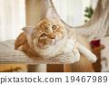 Maine Coon Kitten 19467989