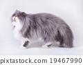 Young bicolor persian cat 19467990