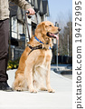 blindness, golden retriever, guide dog 19472995