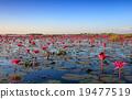 The sea of red lotus, Lake Nong Harn, Thailand 19477519