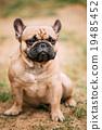 French Bulldog Dog Sitting in grass Outdoor 19485452