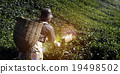 Picker Harvesting Tea Leaves Harvesting Concept 19498502