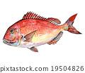 鲷鱼 水彩画 水彩 19504826