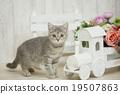 貓 貓咪 小貓 19507863