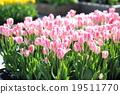Tulip 19511770