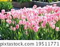Tulip 19511771