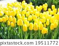 Tulip 19511772