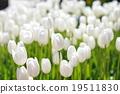 Tulip 19511830