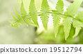 young fern leaf. 19512794