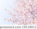 樱花 樱桃树 山桜 19518012