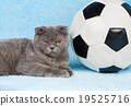 animal cat ball 19525716