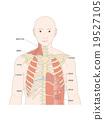 illustration, anatomy, flesh 19527105