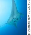 魟魚 海 蝠鱝 19527891