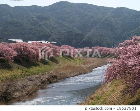 Kawazu cherry tree along the Aono River 19527901