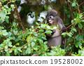 langur, leaf, monkey 19528002