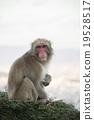 猴子 猴 日本獼猴 19528517