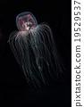 Jellyfish Jellyfish Jellyfish Kamikuragage 19529537