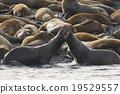 库页冷杉 北海狮 密封 19529557