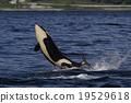 逆戟鯨 跳 劍魚 19529618