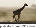 長頸鹿 馬賽長頸鹿 野生生物 19529642
