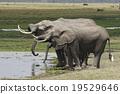 大象 非洲象 野生動物 19529646