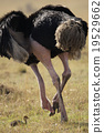 鴕鳥 野生生物 鳥兒 19529662