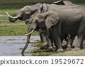 elephant, elephants, african 19529672