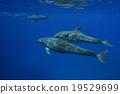 東方寬吻海豚 水中 在水中 19529699