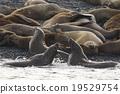 库页冷杉 北海狮 小组 19529754